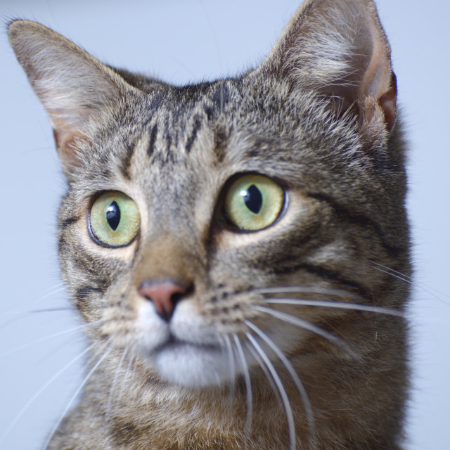 """Cat Closeup"" stock image"