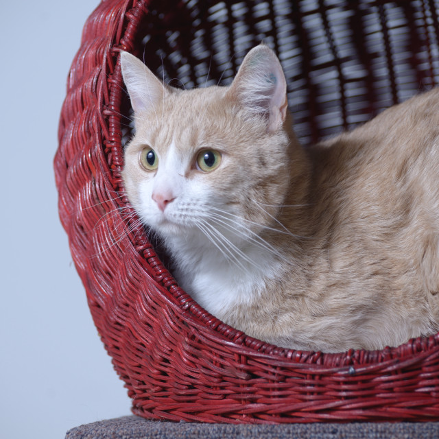 """Cat in a Basket"" stock image"