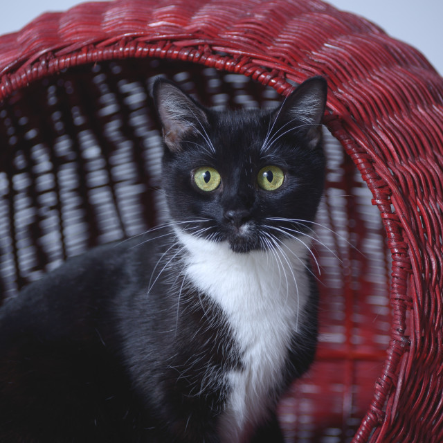 """Black and White Cat"" stock image"