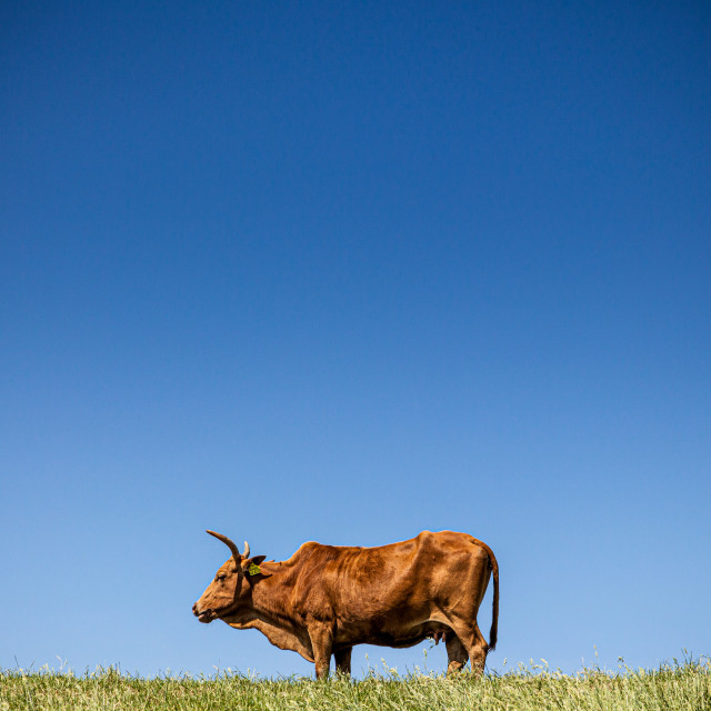 """The cow"" stock image"