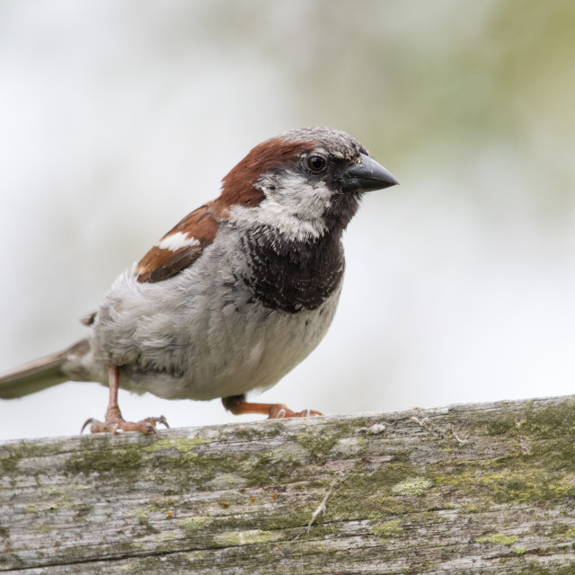 """Tree Sparrow (Passer montanus)"" stock image"