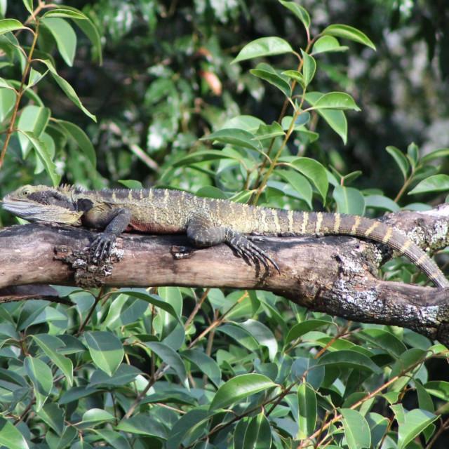 """Water Monitor Lizard, Stroud NSW, Australia"" stock image"