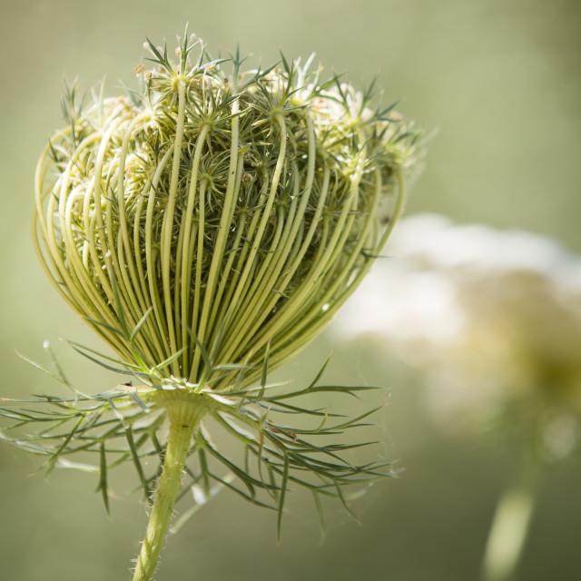 """Lady Lace seed head and flower, ammi majus"" stock image"