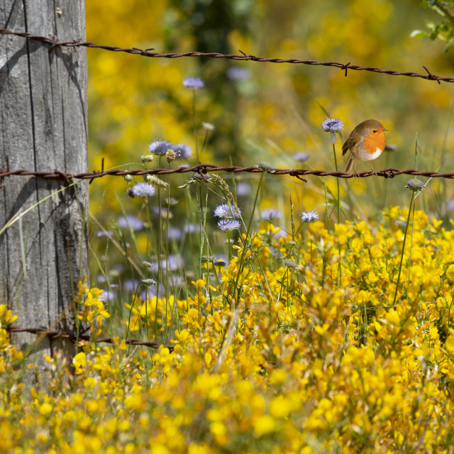 """""""Robin redbreast perched on a wire"""" stock image"""