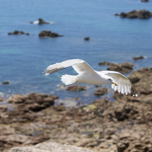 """""""A seagull flying over the ocean"""" stock image"""