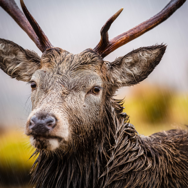 """""""A male reindeer"""" stock image"""