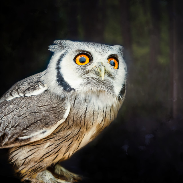 """""""A little owl looking up"""" stock image"""