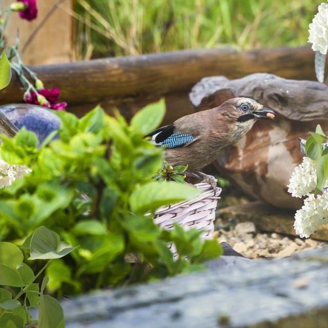 """A garden bird, Garrulus glandarius"" stock image"