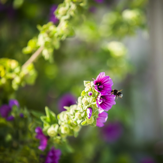 """""""A bumble bee on a flower"""" stock image"""