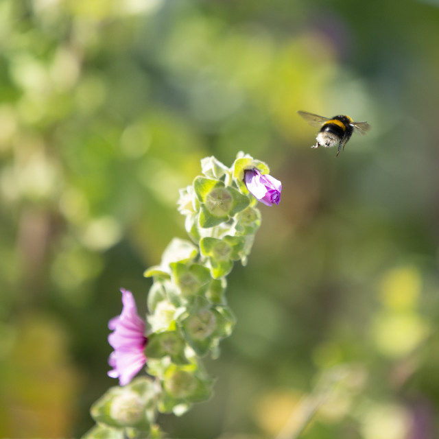 """""""A bumble bee flying away from a flower"""" stock image"""