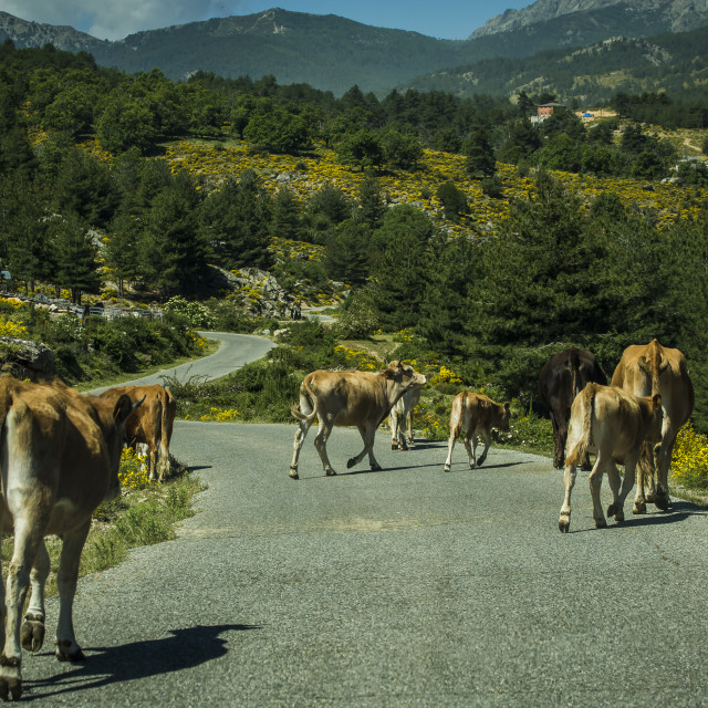 """""""A herd of cows in the road"""" stock image"""