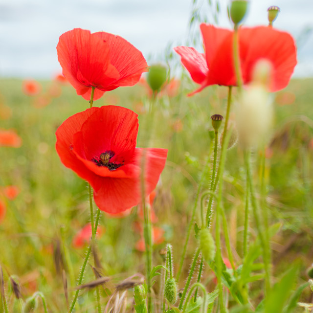 """Poppies In The Breeze"" stock image"