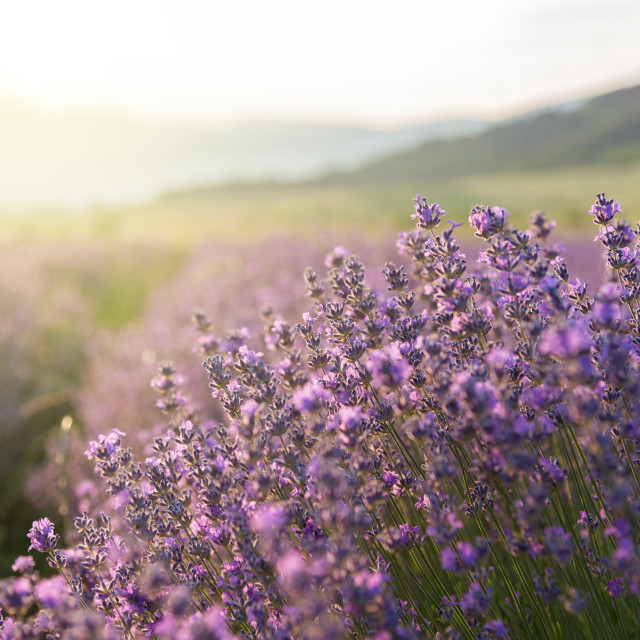 """Blooming lavender in a field at sunset."" stock image"