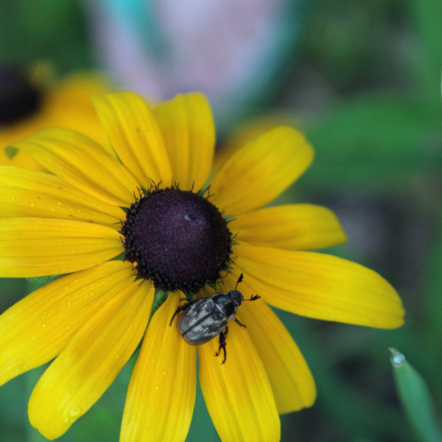 """""""beetle and flower"""" stock image"""