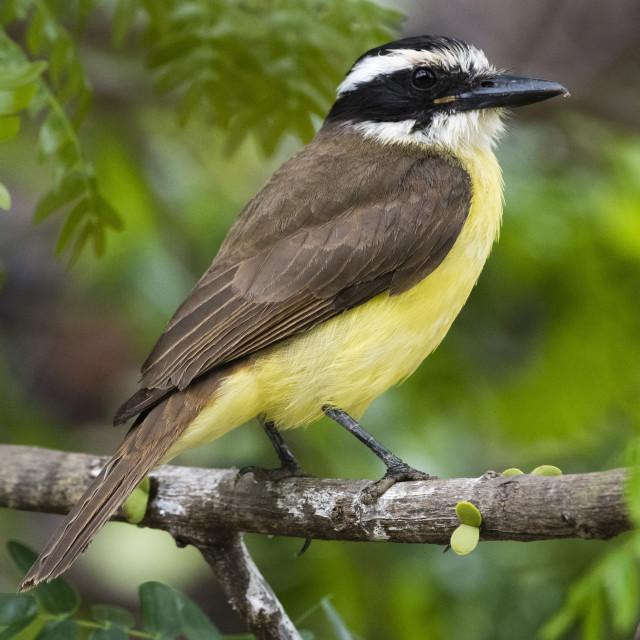 """A lesser kiskadee, Pitangus lictor, perching on a branch."" stock image"