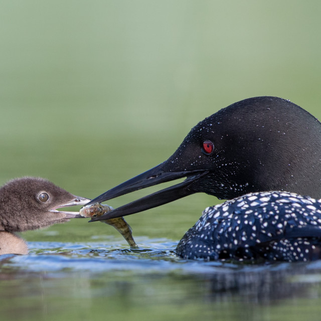 """Great Northern Diver feeding chick"" stock image"
