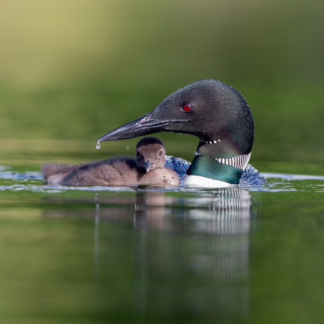 """""""Great Northern Diver with chick"""" stock image"""