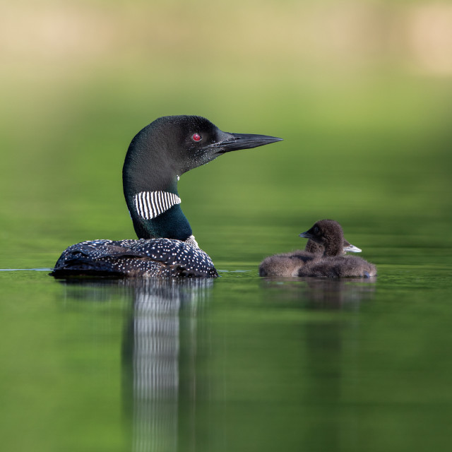 """Great Northern Diver with its chicks"" stock image"