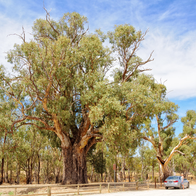 """Giant River Red Gum Tree - Orroroo"" stock image"