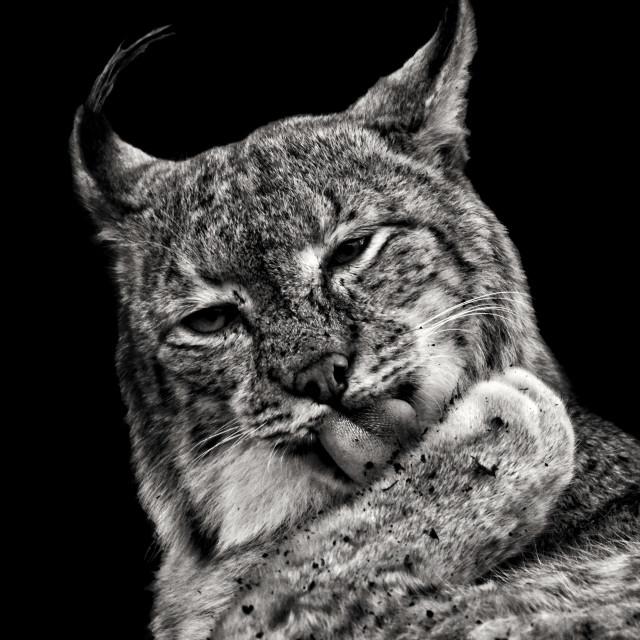 """""""Eurasian Lynx"""" stock image"""