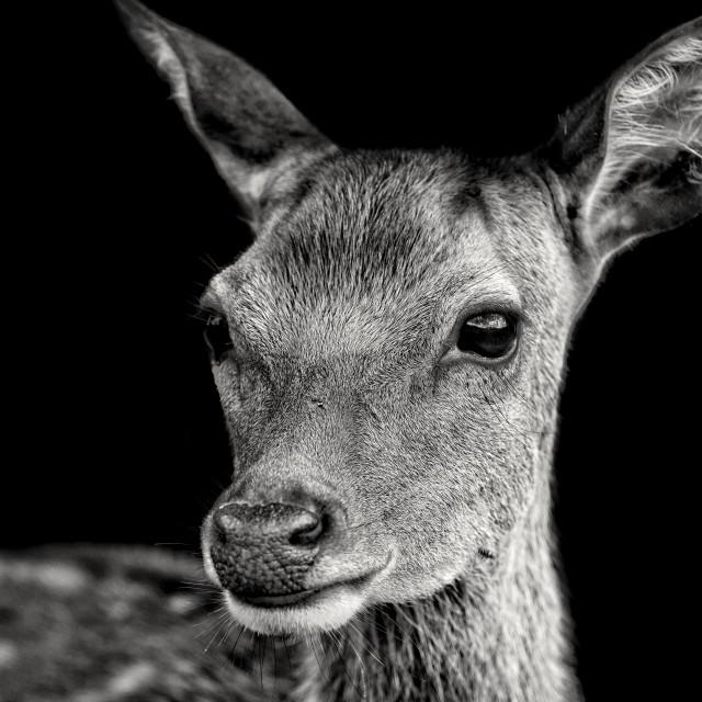 """Fallow Deer Doe"" stock image"