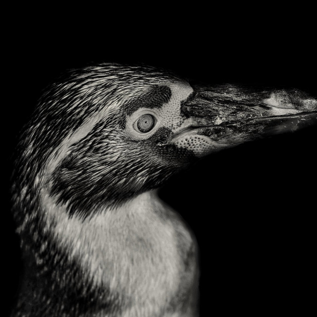 """Penguin"" stock image"