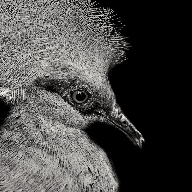 """""""Crowned Pigeon"""" stock image"""