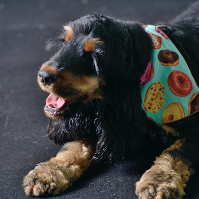 """""""Dog with Colourful Bandana"""" stock image"""