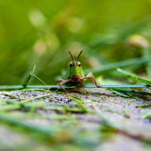 """Grasshopper Smile"" stock image"
