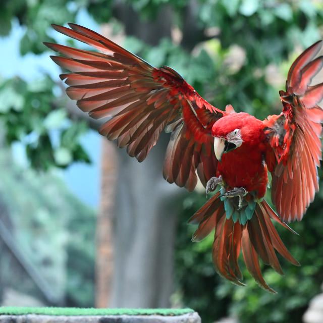 """Parrot landing"" stock image"