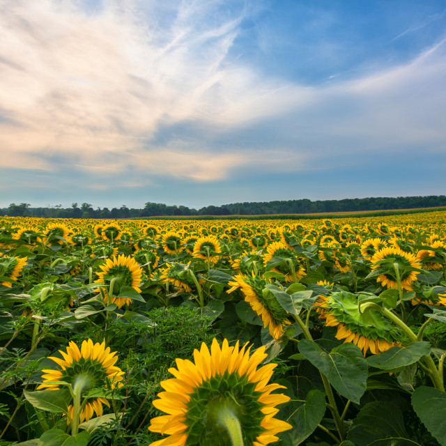 """Morning Sunflowers"" stock image"