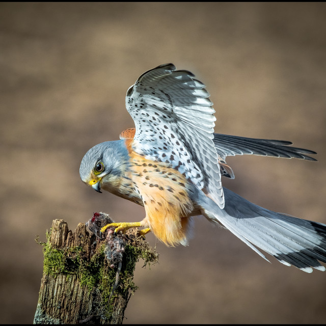 """Kestrel."" stock image"