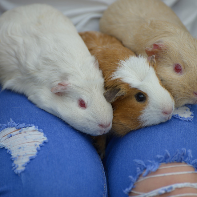 """Three Guinea Pigs"" stock image"