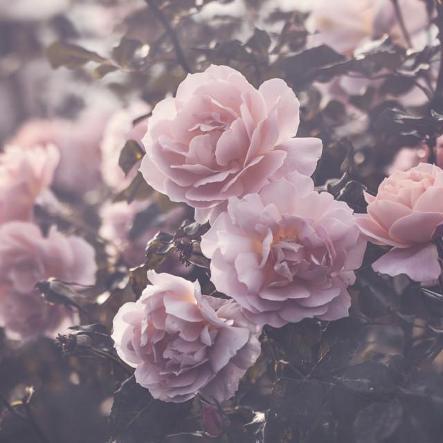 """The Rose Garden"" stock image"