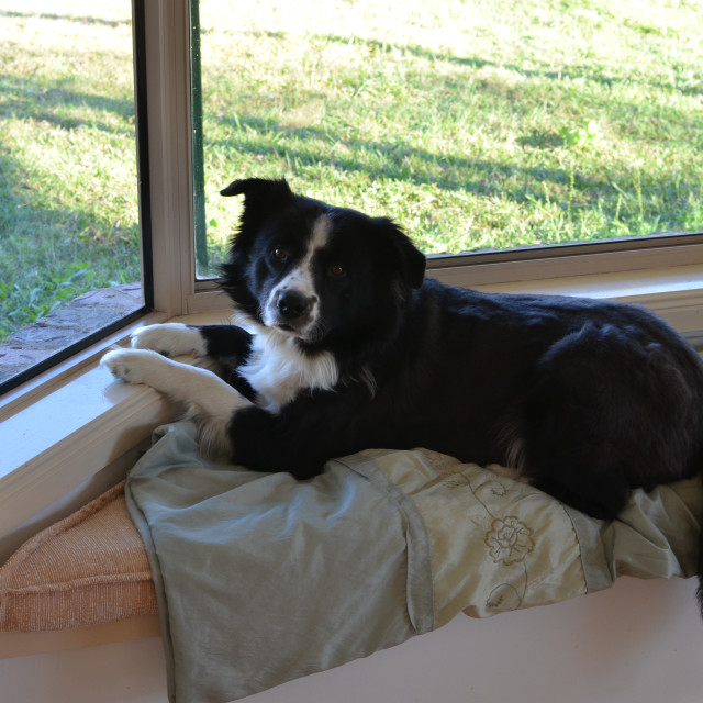"""""""Dog at the Window"""" stock image"""