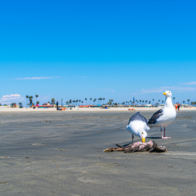 """""""Seagull Eating Other Bird"""" stock image"""