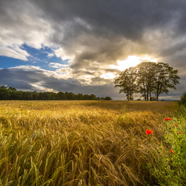 """Sun going down over field of barley."" stock image"