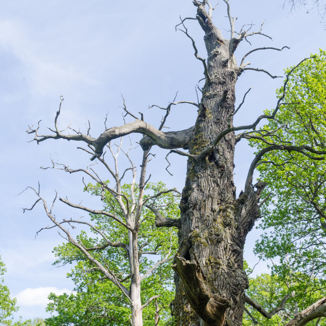 """Dead old oak tree in a nature reserve"" stock image"