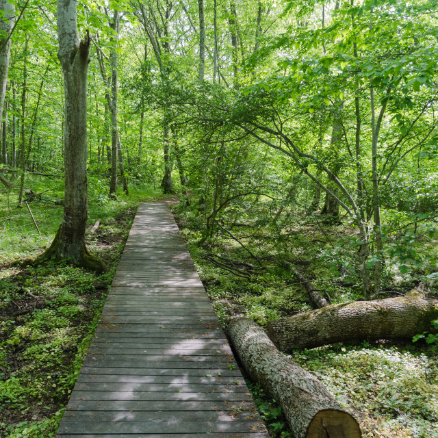 """Wooden footpath in a deciduous forest with fresh green leaves"" stock image"