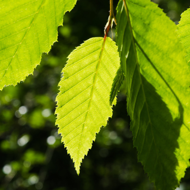 """Bright green leaves growing in a hornbeam tree"" stock image"