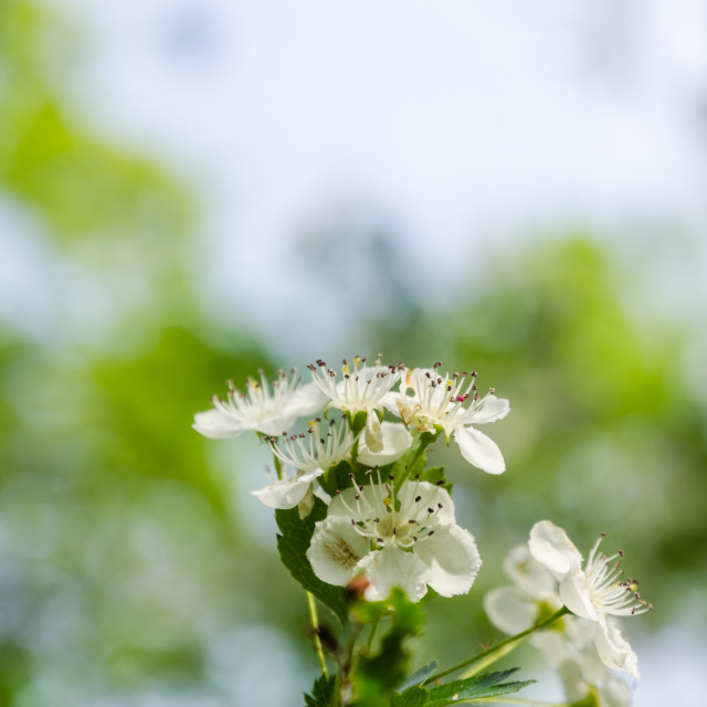 """Beautiful hawthorn flowers close up"" stock image"