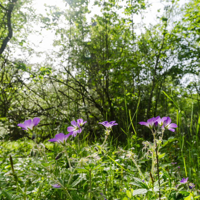 """Beautiful sunlit purple summer flowers in a lush greenery in a deciduous forest"" stock image"