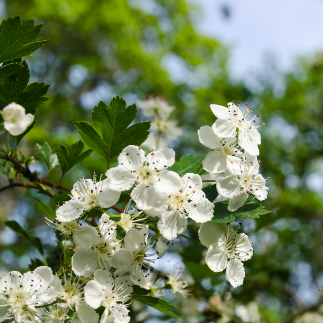 """Beautiful white flowers on a blossom hawthorn shrub"" stock image"