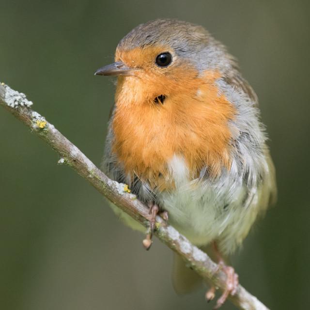 """Juvenile Robin (Erithacus rubecula)"" stock image"