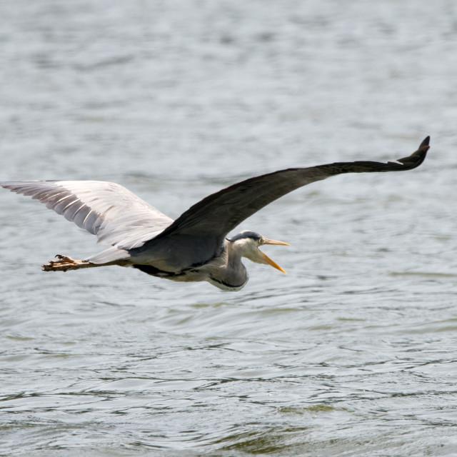 """Grey Heron (Ardea cinerea)"" stock image"