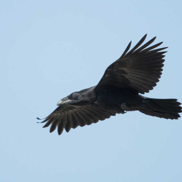 """Raven (Corvus corax)"" stock image"