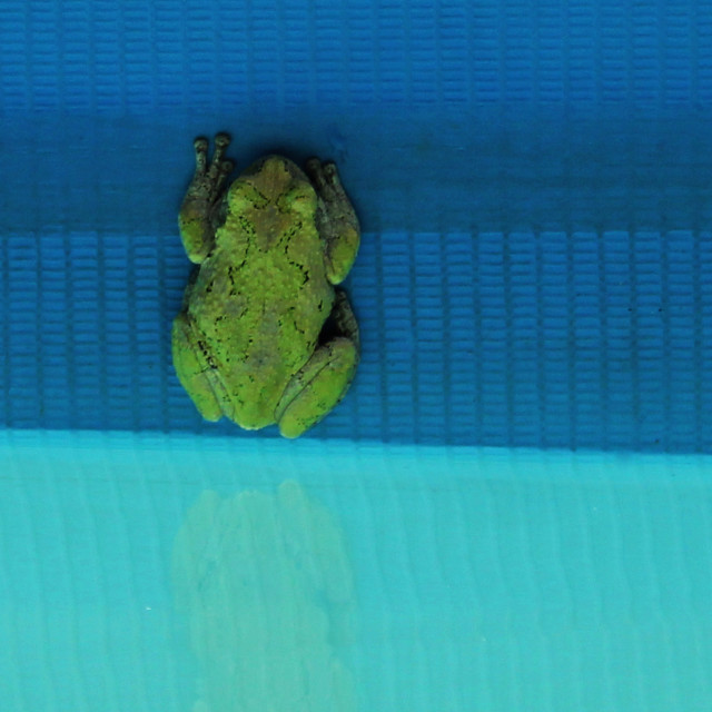 """green frog in pool"" stock image"