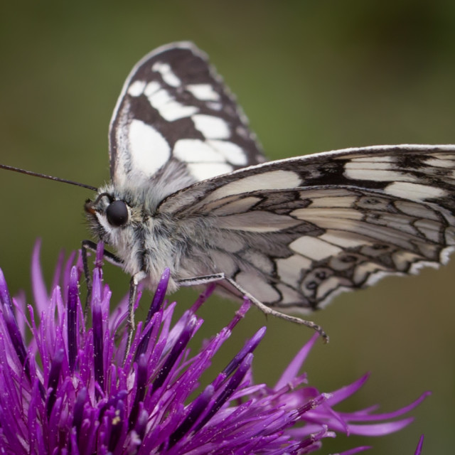 """""""Marbnled White Butterfly"""" stock image"""