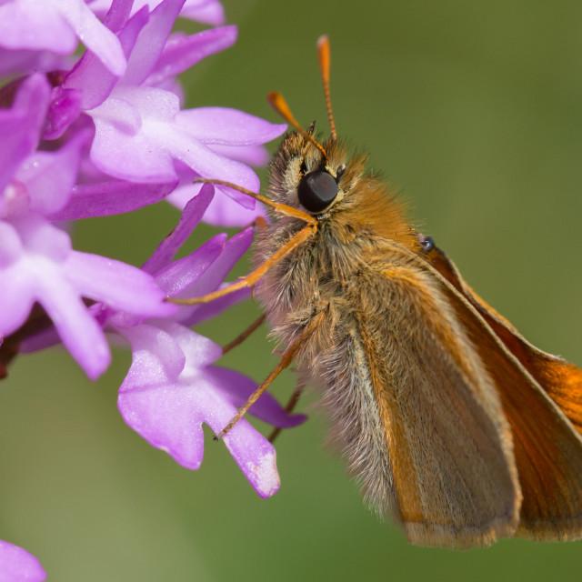 """A Skipper Moth"" stock image"