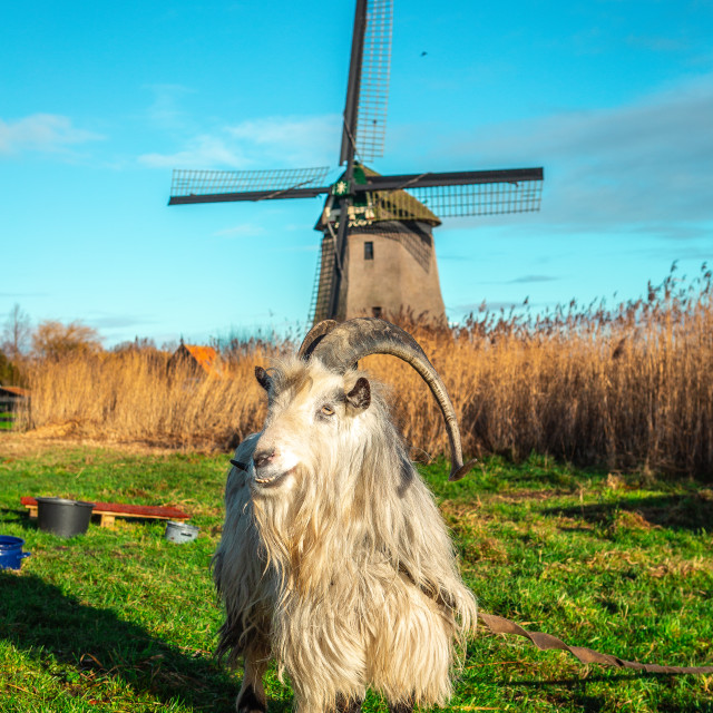 """Goat and the windmill"" stock image"